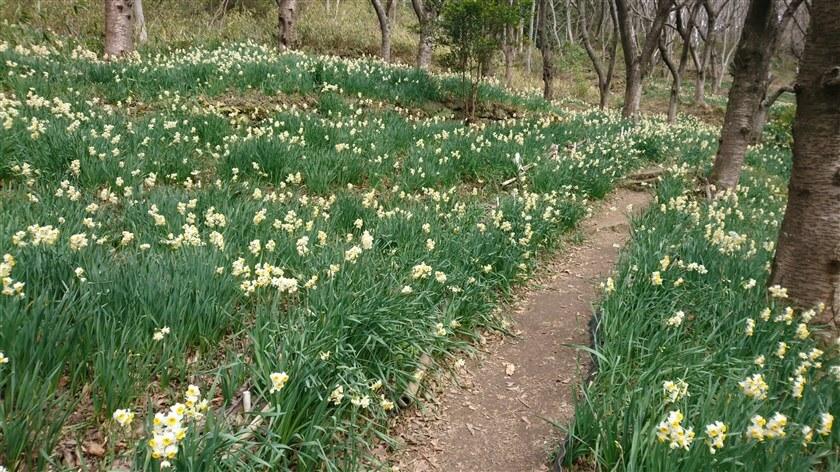 スイセン畑の中を歩けるように、歩道が設けられている