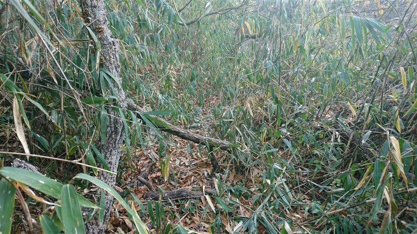 尾根が広くなり、藪が少し開けてくる