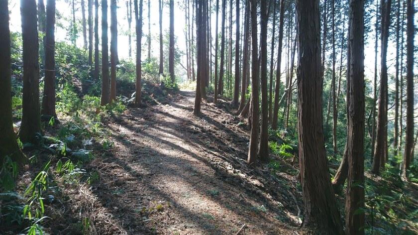 明るい杉林の中を行く