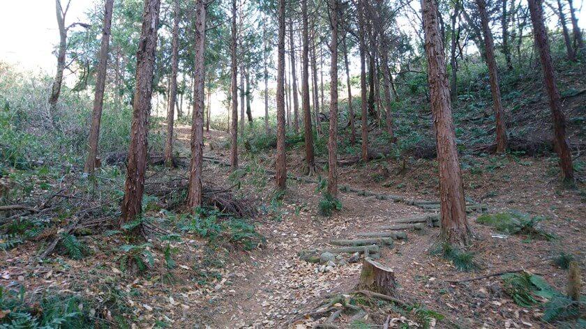 間伐された、杉林の中を登る