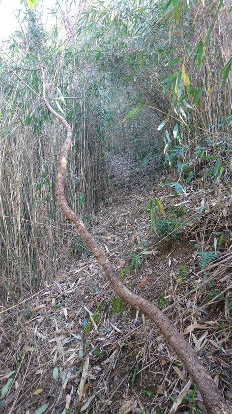 細い竹が刈り取られ、登山道が整備されている