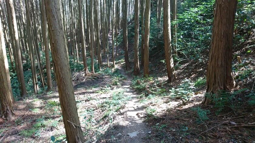 杉木立の中を行く