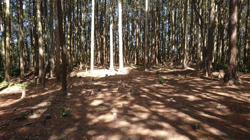 杉木立が伐採されている場所がある