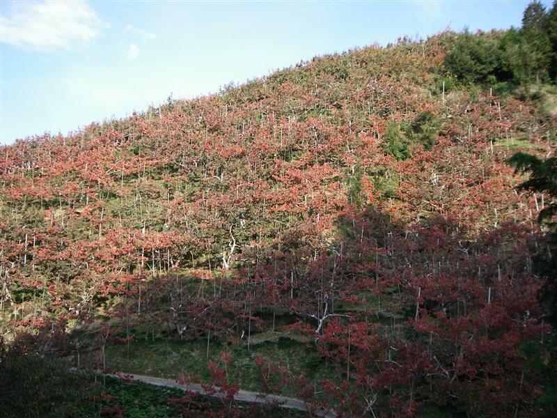 西吉野町に入ると、山の斜面が柿で埋め尽くされている【圧巻】の眺めに