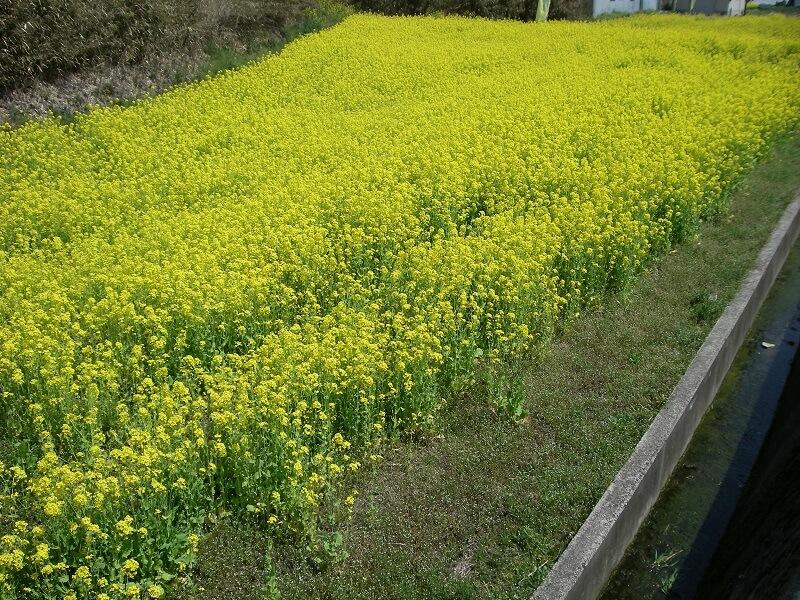 R254沿いにあった、菜の花畑