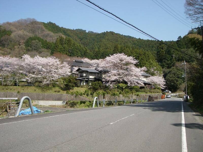 明日香村に降りて来た。まだ桜が咲いている。