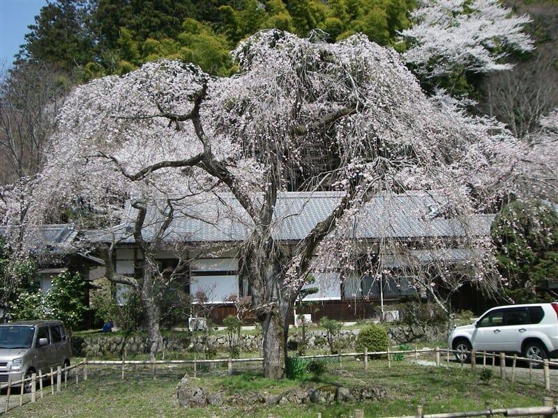 慶雲殿横の駐車場の桜