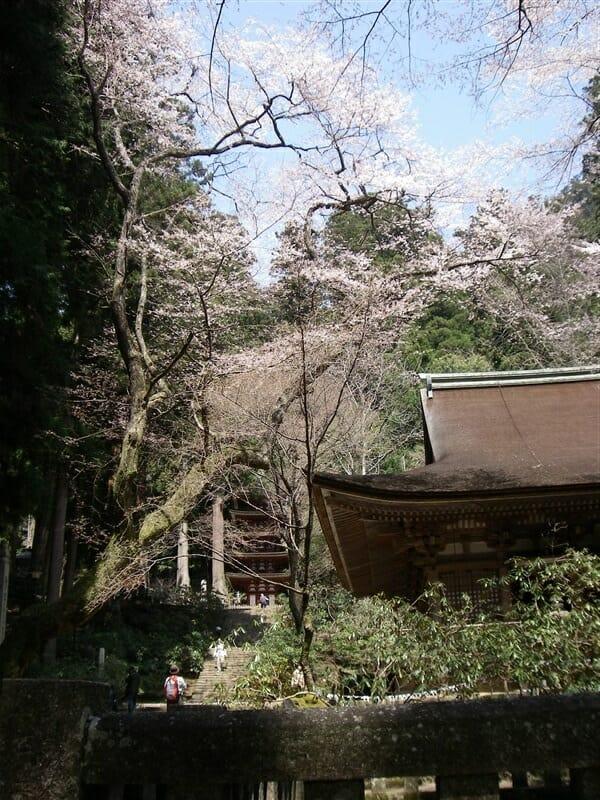 本堂(灌頂堂)横の桜と、その奥に五重塔が見える