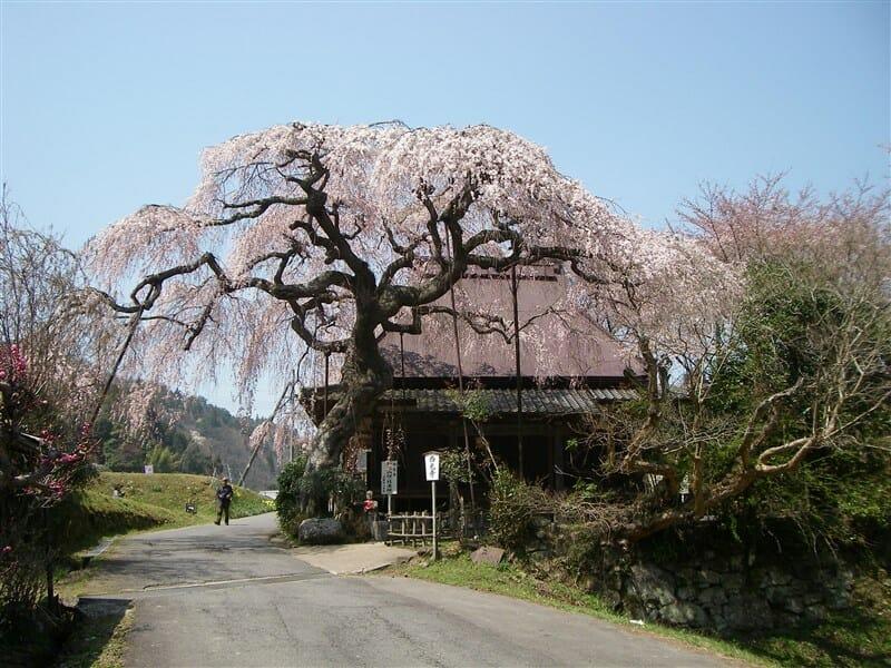 西光寺の枝垂桜