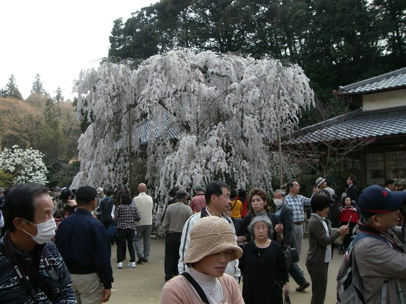 大野寺の枝垂桜
