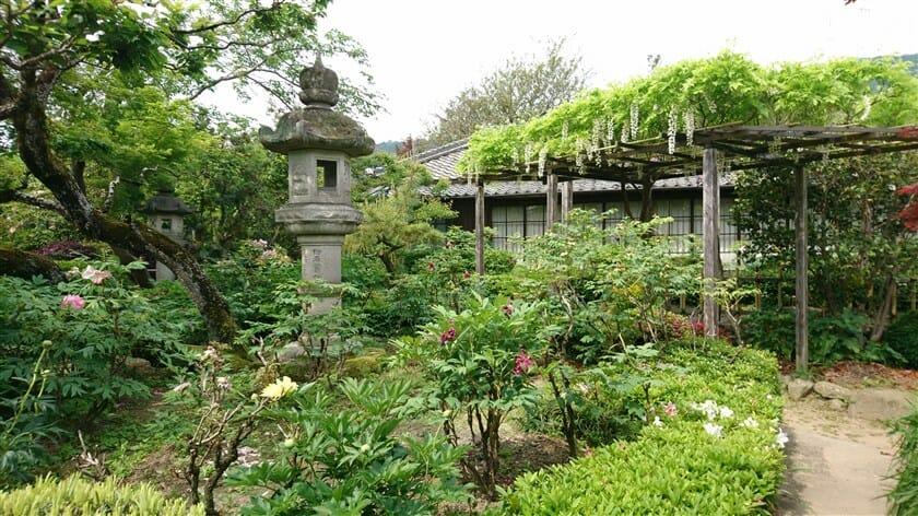 石光寺のアメリカ芍薬