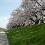 背割り堤の桜 京都八幡 淀川河川公園背割堤地区