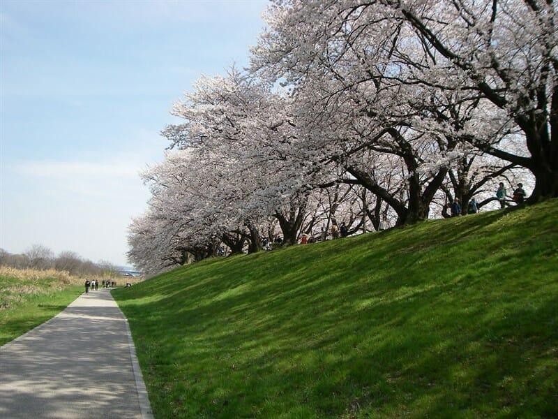 京都八幡 背割り堤の桜