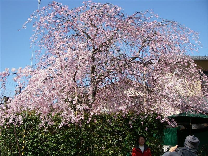 嵯峨野の桜