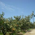 街道をゆく『大和丹生川(西吉野)街道』柿山・柿畑の柿の中を走った