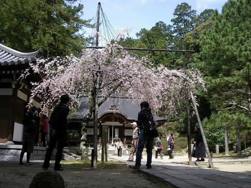 弘川寺の隅屋桜(すやざくら)。