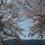 海津大崎の桜 を満喫するロードバイクコース