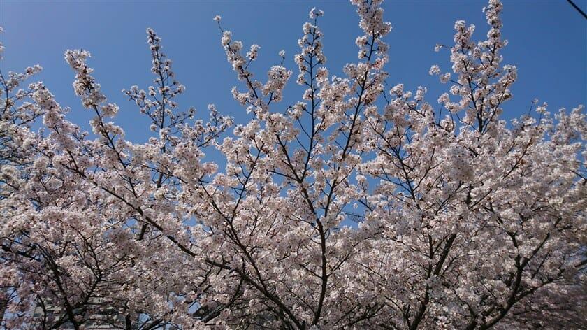 長瀬川の桜