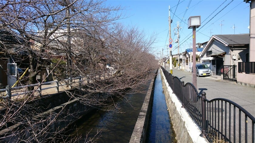 八尾市末広町1丁目辺りの桜並木