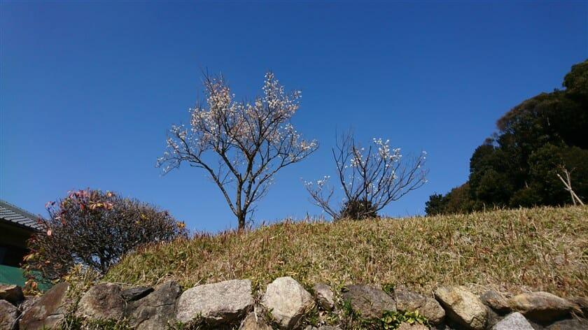 推古天皇陵横の丘に咲いていた梅の花