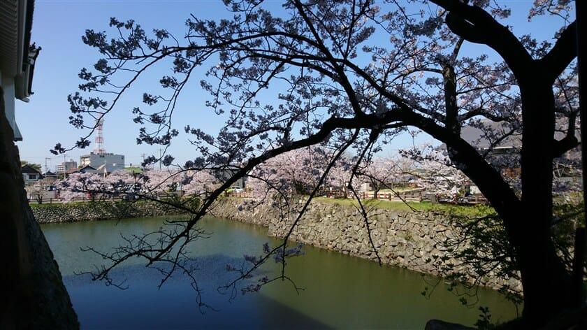 櫓門から見たお堀の桜