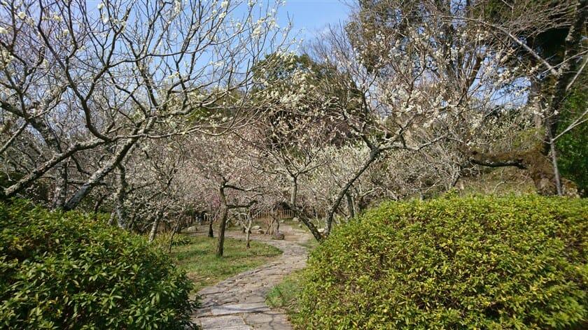 参道の左側にある梅