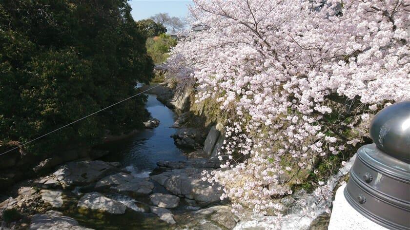 水間寺の桜