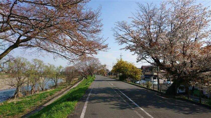 『京都八幡木津自転車道線』の桜