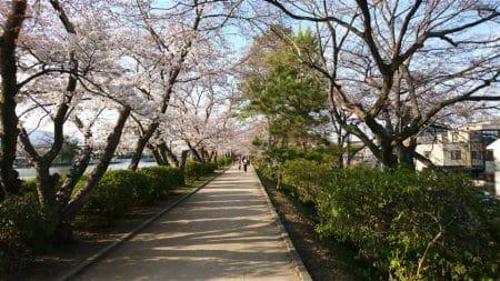 長岡天満宮 八条が池 の桜