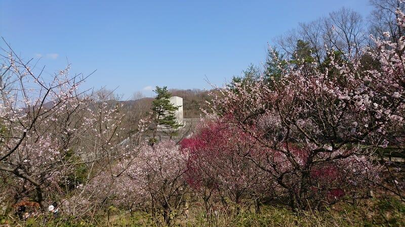 近つ飛鳥博物館の梅