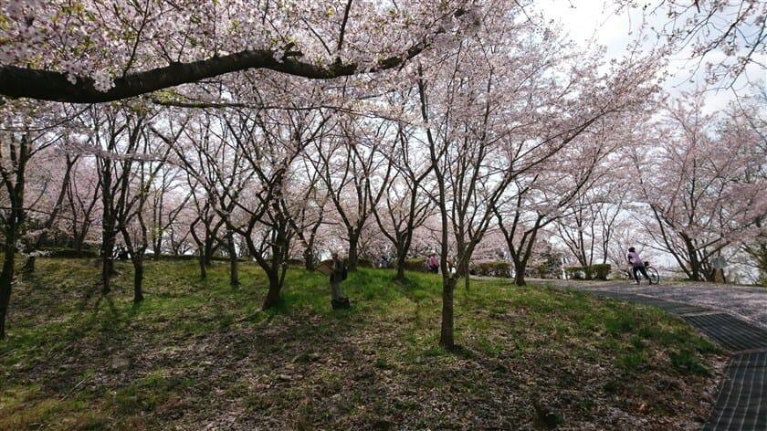 近つ飛鳥博物館から風土記の丘に至る桜