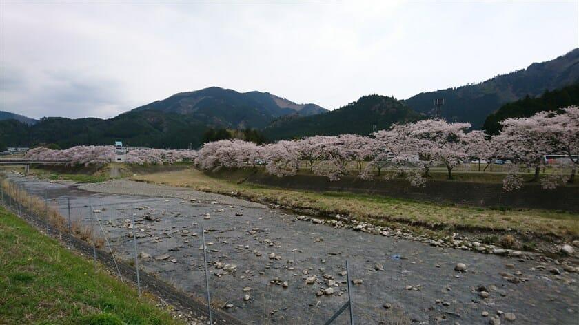 鮎河千本桜