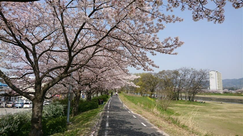 石川の桜堤