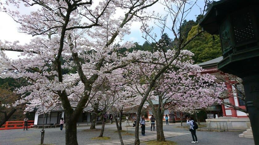 鞍馬寺境内の桜