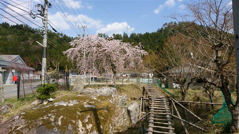 黒田郵便局前の桜