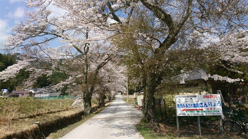 常照皇寺参道の桜