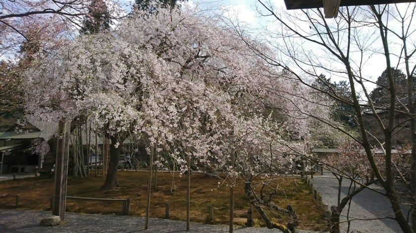 常照皇寺の九重桜(ここのえざくら)