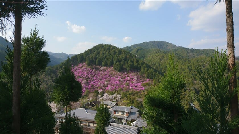 三つ葉つつじと桜の競演