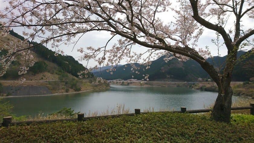 青土ダム(おおづちダム)の桜