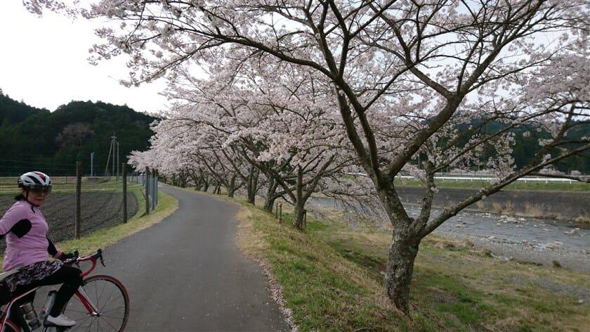 鮎河の千本桜
