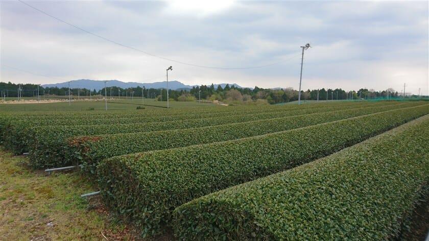甲賀市・土山はお茶の名所