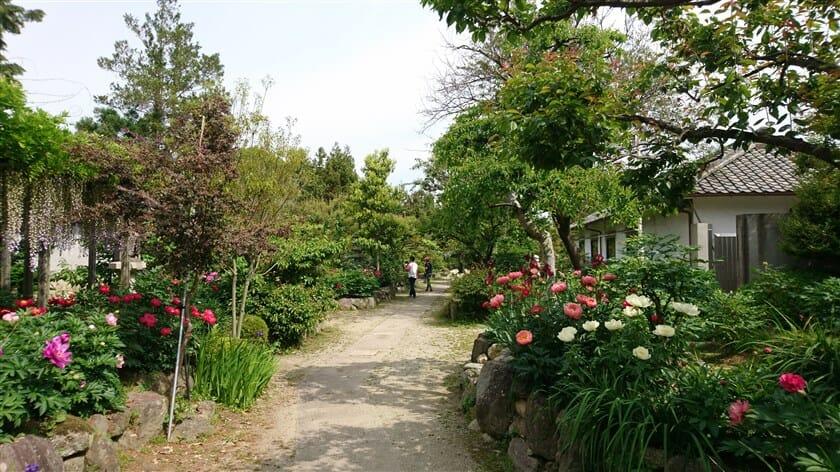 石光寺 の 春ぼたん と アメリカ芍薬 の 庭園