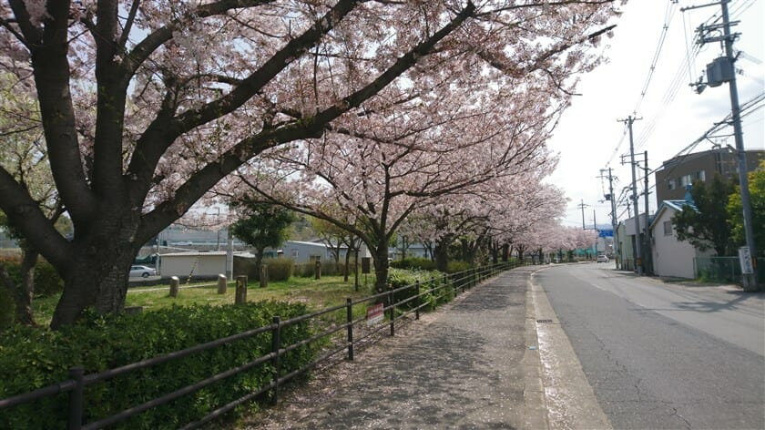 駒ヶ谷の桜