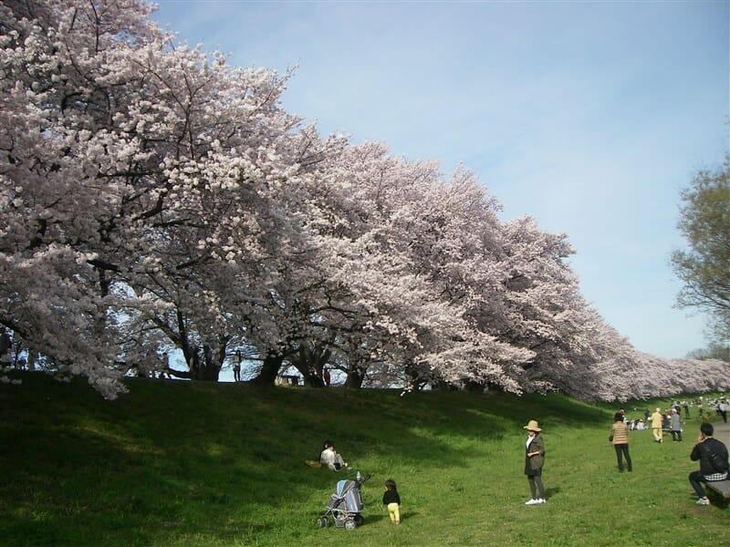 ロードバイクで訪ねた 桜の名所