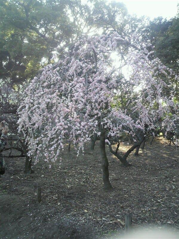 道明寺天満宮の梅