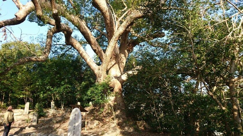 樹齢約千年といわれる「楠の木」