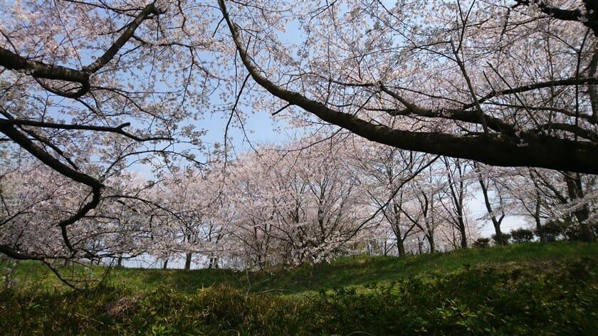 亀の瀬 8号園の桜
