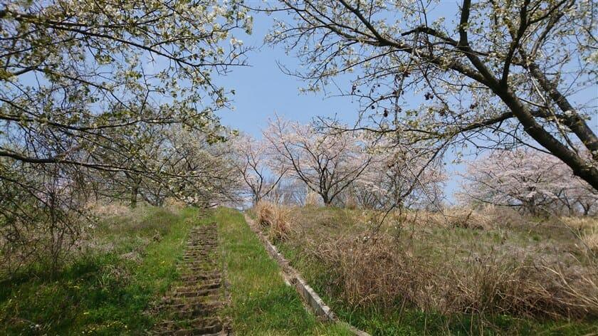 亀の瀬の桜