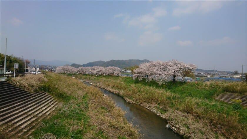 竜田川の川畔に満開の桜