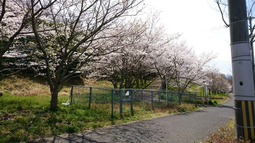 さくら坂の桜